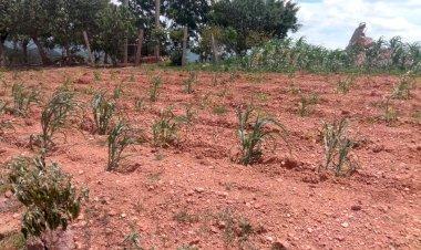 Afecta sequía cultivos de maíz en Xalpatláhuac