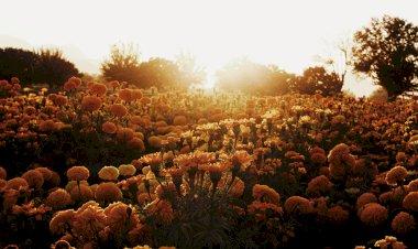 Productores de Flor de Cempasúchil esperan buena venta en Durango